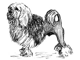 302451Lowchen-(Little-Lion-Dog)